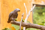 Grey parrot posing from a branch with orange background