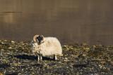Sheep Shore Ocean Scotland - 162706098