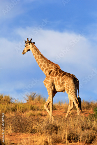 Poster Giraffe walking away in Africa