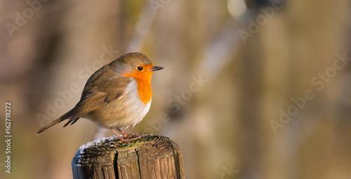 Papiers peints Nature Sad Robin