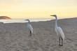 Quadro White heron perches on the sand of Ipanema beach at sunset