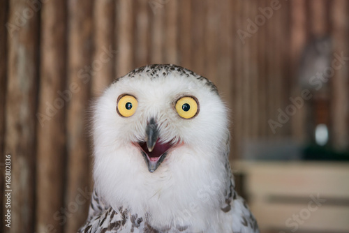 Close up snowy owl eye with wooden background