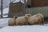 Three uncut sheep and a cat in the backyard  - 162803277