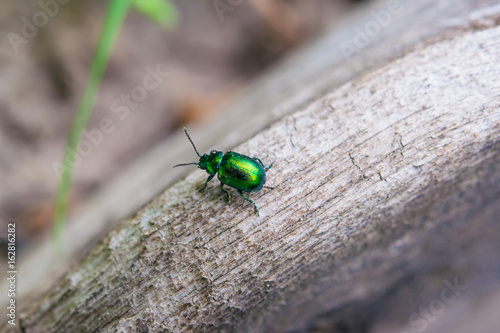 Summer landscape. A small glowing green beetle on the old grey tree branch, shooting macro