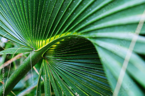 Palm Tree Leaf, Sabal palmetto