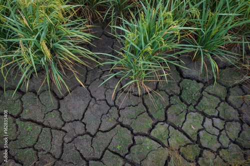 Paddy growing in dry cracked soil field due to water shortages