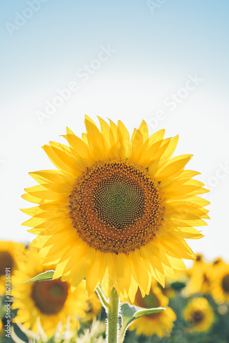 Fotobehang Planten Sunflowers texture and background for designers. Sunflowers field background. Macro view of sunflower in bloom. Organic and natural flower background.