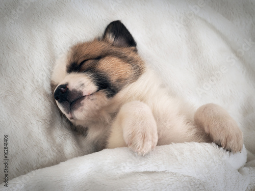 Poster Small cute puppy sleeping comfortably on the bed