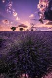 couché de soleil sur un champs de lavande