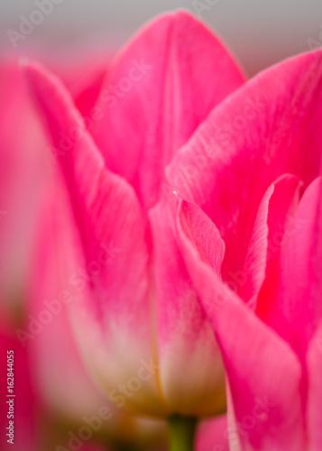 Fototapeta Macro Pink Tulips