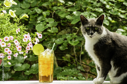 grey and white cat sitting on white rail looking toward camera next to large glass of ice tea with green nature background