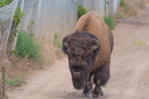 Wild bison on dirt road on Catalina Island