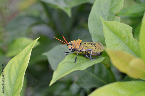 Orange grasshopper photo for your insect projects or biology publications.