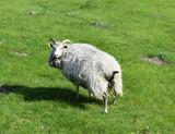 Sheep Denmark Europe - 162858214