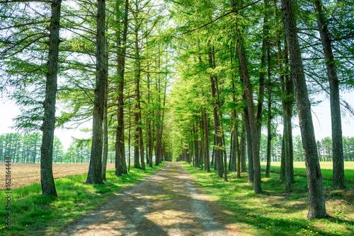 カラマツ並木 並木道