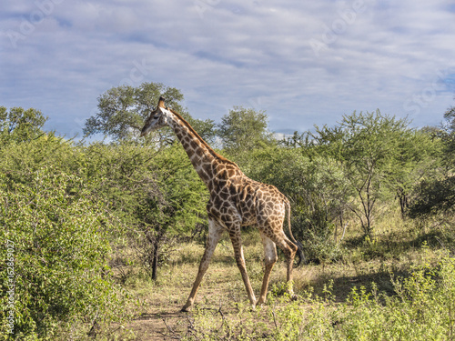 Poster Giraffe Walking Among the Trees-Kruger National Park
