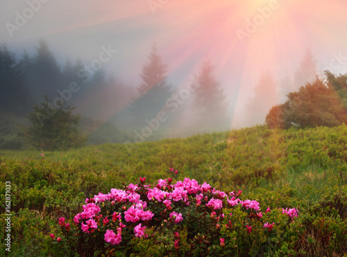 Beautiful landscape in the spring mountains. View of smoky hills, covered with fresh blossom rododendrons.