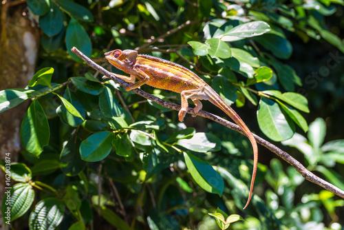 Fotobehang Kameleon Chameleon in Madagascar