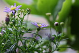 aster - 162910493
