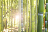 Bamboo forest in Italy