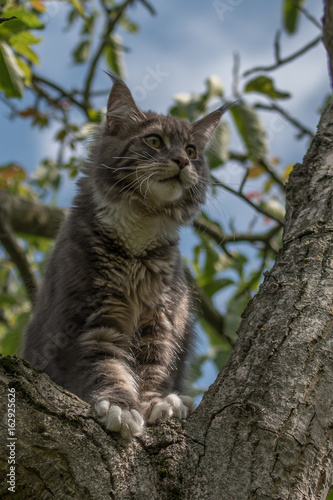 Maine coon cat sitting on a tree