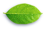 Green leaf with drops of water on the white background - 162930218