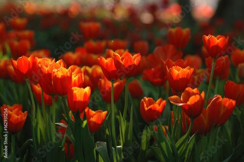 Beautiful orange tulips in a beautiful light atmosphere.