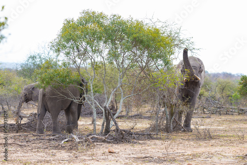 Two adult and one young African Elephants walking in the bush. Wildlife Safari in the Kruger National Park, the main travel destination in South Africa.