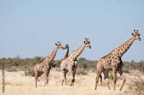 Poster Giraffes with babies