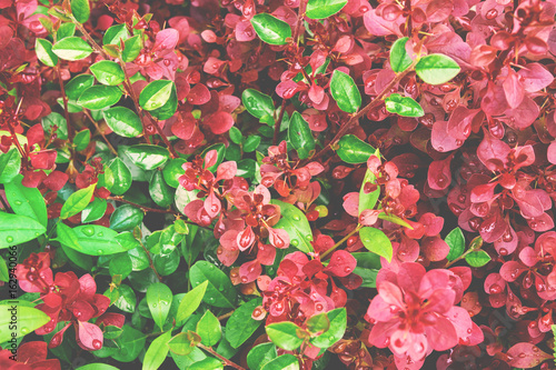 Green and purple foliage, botanical background, wet round leaves, crimson, royal pygmy barberry, vibrant colors, light matte effect