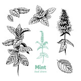 Peppermint plant, leaves and flowers vector hand drawn illustration - 162942428
