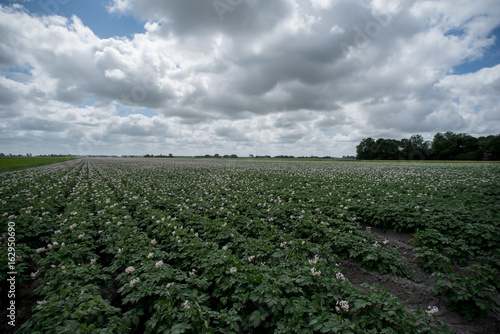 rows of crops of potato