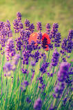Lavender and red poppies flowers, blooming meadow - 162953219