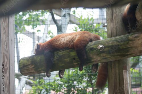Red panda sleeping on a log