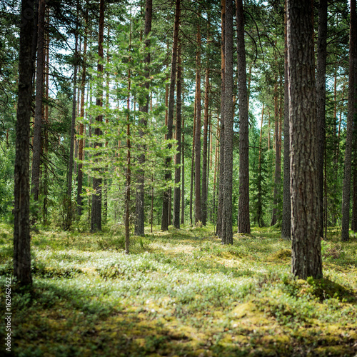 Clear wild forest summer panorama - 162962422