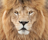 Strong lion