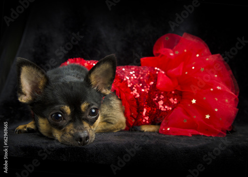 Black and tan chihuahua laying down in a red sequined show girl dress. Black background