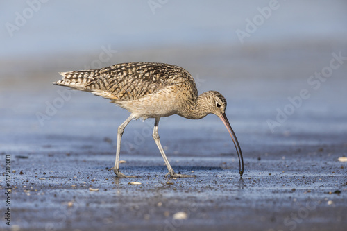 Long-billed Curlew foraging in a river estuary - Monterey Peninsula, California Poster