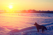 A dog walks in a snowy field in winter at sunset