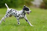 Dalmatian dog outdoors in summer