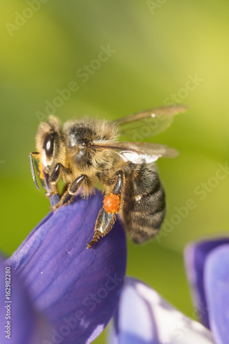 on a lupine collecting Nectar Poster