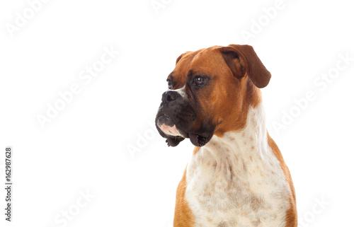 Beautiful brown boxer dog