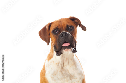 Beautiful brown boxer dog