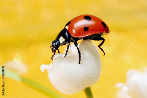 Fotobehang Lelietjes van dalen Lady bug