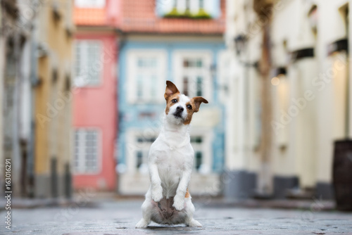 adorable jack russell terrier dog posing in the city
