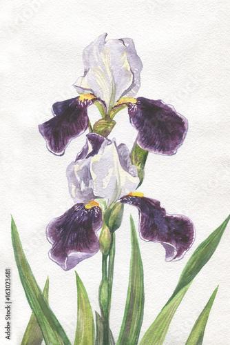 Beautiful purple iris. Watercolor painting - 163023681