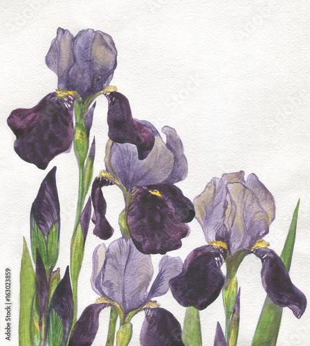 purple irises. Watercolor painting - 163023859