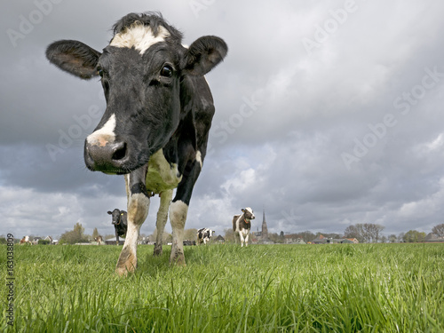 A lovely cow investigating the photographer with a small herd at its back.