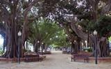 Alicante.Hudne wielowiekowe drzewa