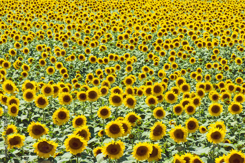 Field Full Of Sunflowers In Sunny Day